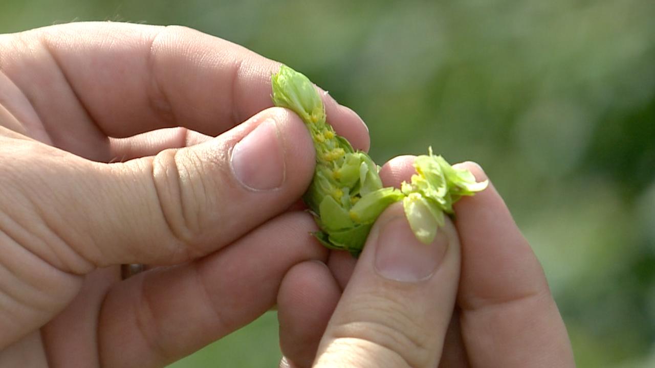 hops-in-hand