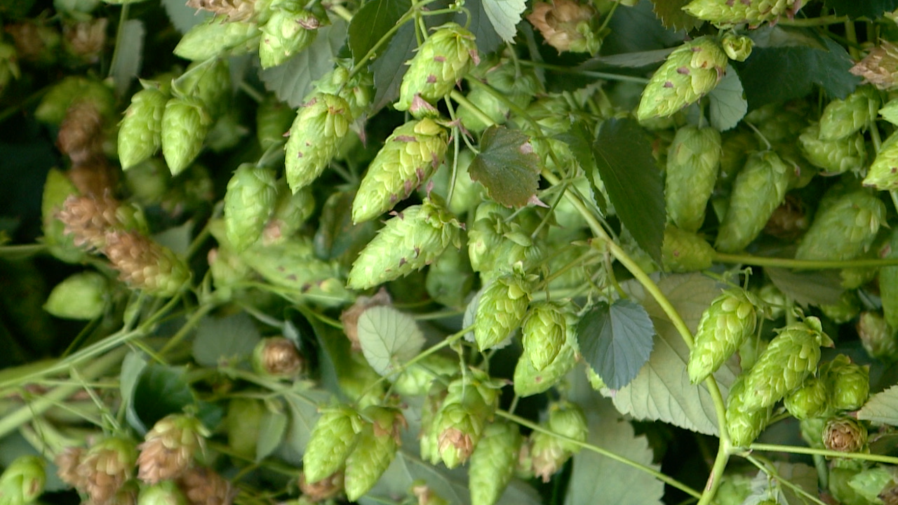hops-on-vine